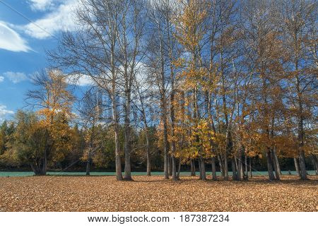 The picturesque autumn forest along the river against a bright blue sky, Altai region, Siberia, Russia