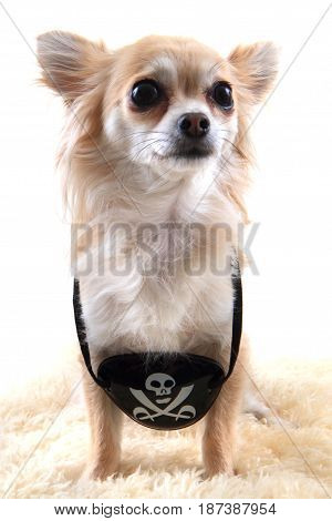 Chihuahua As Pirate