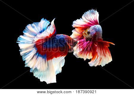 Thai Betta Fighting Fish  Battle
