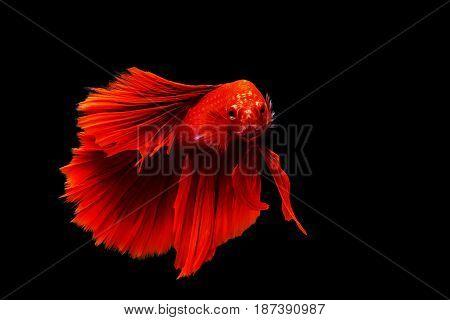 Red Thai Siamese Betta Fighting Fish