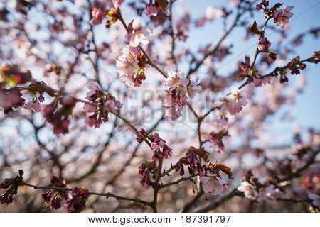 blossom sakura in warm spring sunset, shallow focus photo