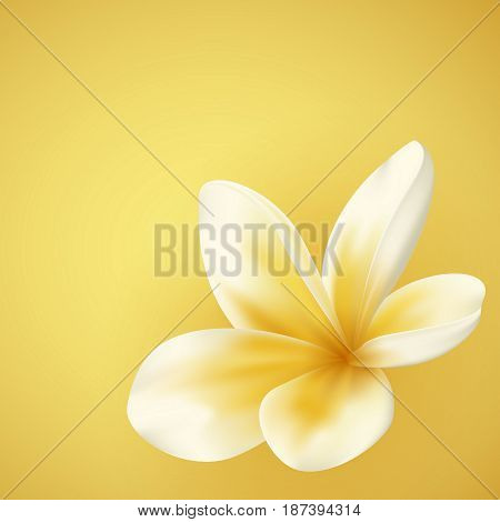 White and yellow Plumeria Flower in realistic style on gold background. Vector Illustration. Tropical flowering plant. Plumeria real style on yellow background