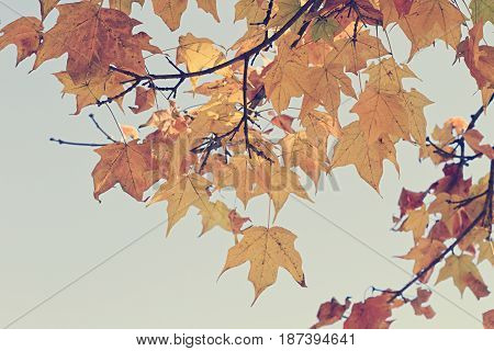 Colorful yellow and red autumn leaves in cool light vintage effect