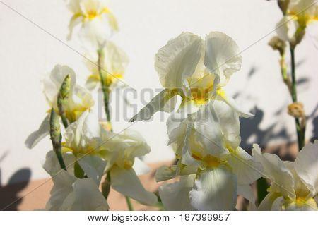 Close-up of a white flower of bearded iris (Iris germanica). Flower bed of irises. Iridarius