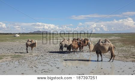landscape of wild field with camels and mountains at horizon