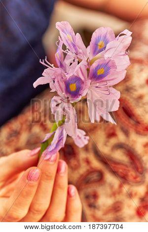 Female Hand Holds Violet Foler Eichornia Crassipes