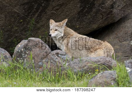 Coyote In Rocks And Grass During Spring With Flowers