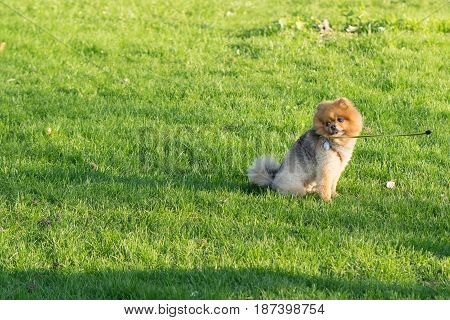Small Pomeranian Spitz on a walk. Dog outdoor. Beautiful dog