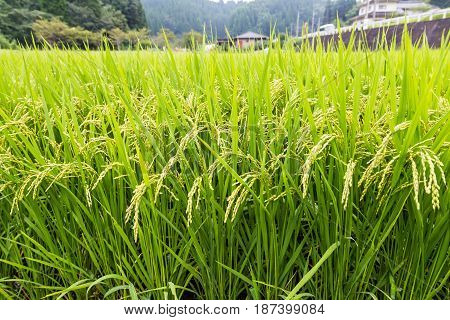 Green Rice Field Ready To Harvest In Aso, Japan
