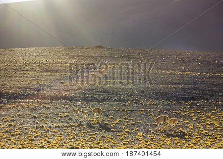 guanaco family on grass field in mountains of atacama desert