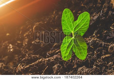 Seedling plants with two curly leaves in a pot