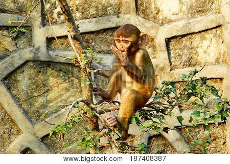 Cute little monkey hanging on the tree near the Swayambhunath temple in Kathmandu Nepal.