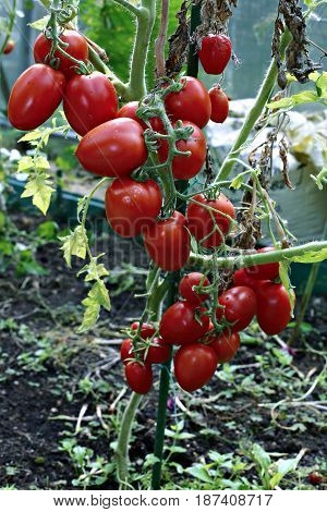 Red bright elongated tomatoes in a greenhouse