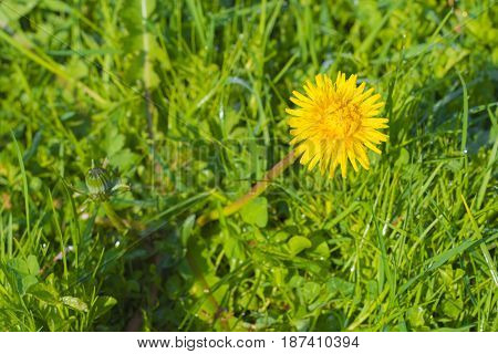 Detail Of Blooming Yellow Dandelions On Grass At Sunrise