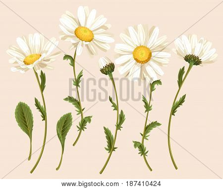 Vector set of high detailed camomile flowers, buds and leaves