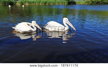 Two white Pelicans in the city zoo, swim along the lake