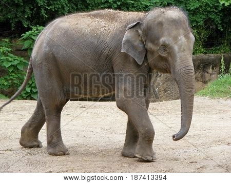 photography with scene of the gray indian elephant on walk