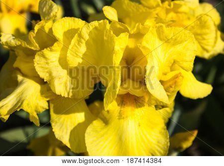 Close-up of a yellow flower of bearded iris (Iris germanica). Flower bed of irises. Iridarius