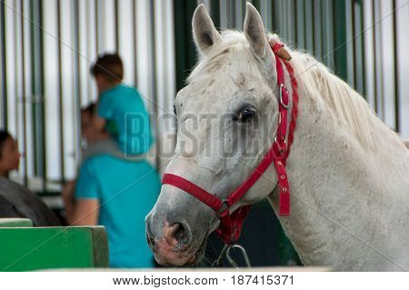Close up portrait of a beautiful white horse