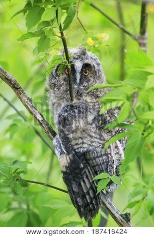 funny chick long-eared owl sit on a tree spread its feathers