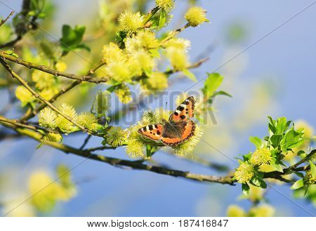 beautiful butterfly sitting on a fluffy yellow willow branches in the spring