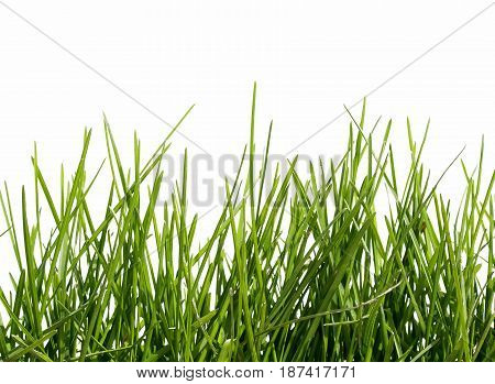 spring green grass on white isolated background