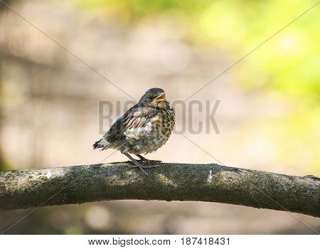 funny little bird the thrush is on the tree revealing an empty beak
