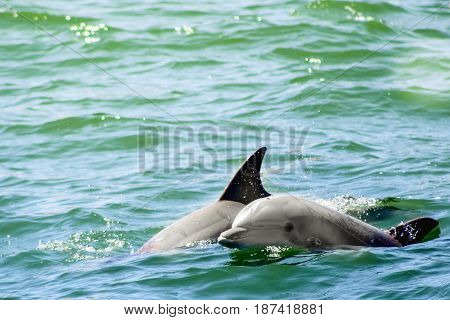 two playful dolphins frolicking in the ocean