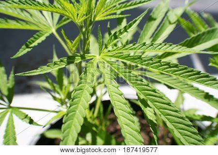 Weed Close Up High Quality Stock Photo
