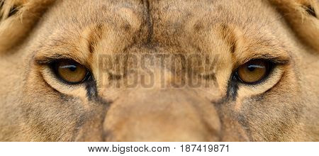 Close up portrait of a african Lion