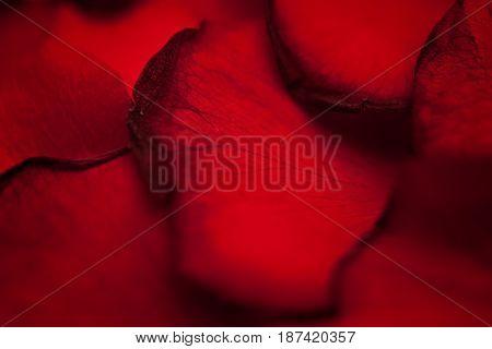 Scarlet Petals Of Flowers Rose Macro
