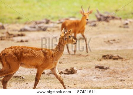 Pair of male oribi walking in Kenyan savannah, Maasai Mara National Reserve