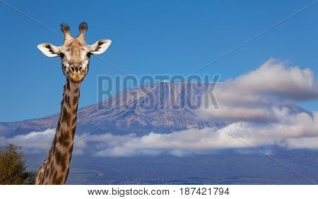 Close-up funny portrait of giraffe's head with beautiful Kilimanjaro mount in clouds on background, Tanzania, Africa