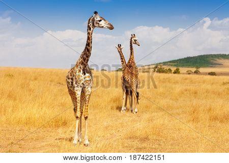 Masai giraffes standing in dried grass of Kenyan savannah, Africa
