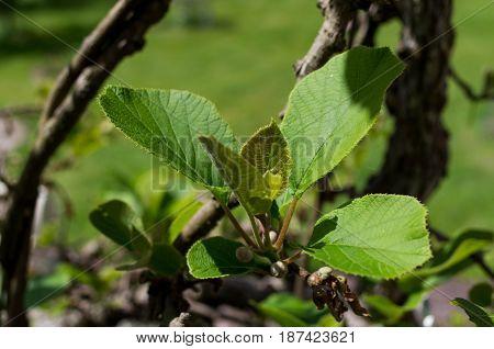 Actinidia deliciosa plant of kiwifruit in garden