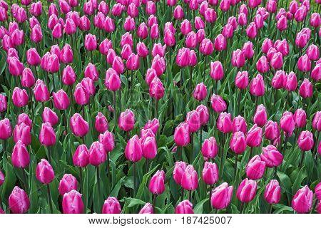 Blooming pink tulips Keukenhof garden Netherlands Europe. Spring outdoor scenery. Flower bed in park. Beautiful romantic landscape