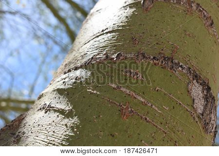 A closeup image of a mesquite tree trunk.