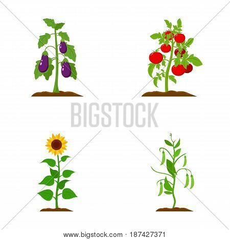 Eggplant, tomato, sunflower and peas.Plant set collection icons in cartoon style vector symbol stock illustration .