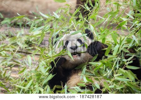 Giant panda eating bamboo in China closeup
