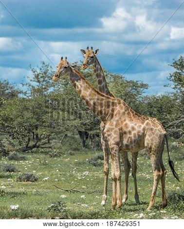 Giraffes family in Etosha national park Namibia