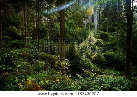 Magic dark forest. Autumn forest scenery with rays of warm light. Mistic forest. Teplickie Rocks Sudety Mountains