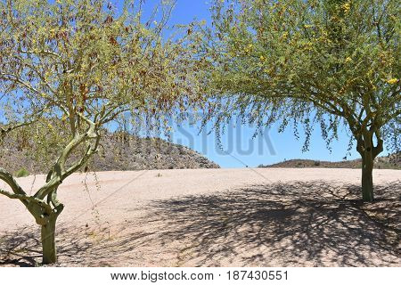 Mesquite trees in a desert setting, with shadows