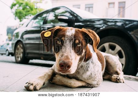 Red And White Medium Size Mixed Breed Homeless Dog Sit Outdoor On Street
