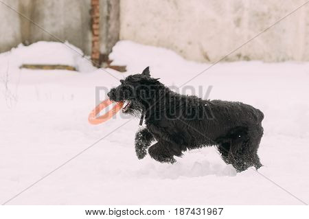 Funny Young Black Giant Schnauzer Or Riesenschnauzer Dog Playing With Toy Ring Outdoor In Snow, Winter Season. Playful Pet Outdoors.