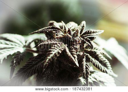 Marijuana Bud With White Frame High Quality