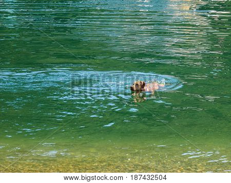Dog (Labrador) swims in green water returning to the shore