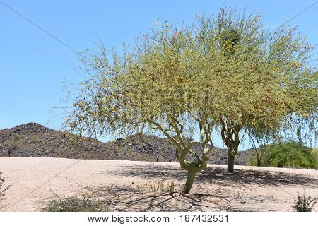 A mesquite tree with a desert mountain background