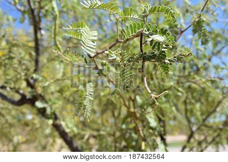 A closeup of a mesquite tree leaf, with the tree in the background