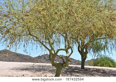 Mesquite trees against a desert background with shadows