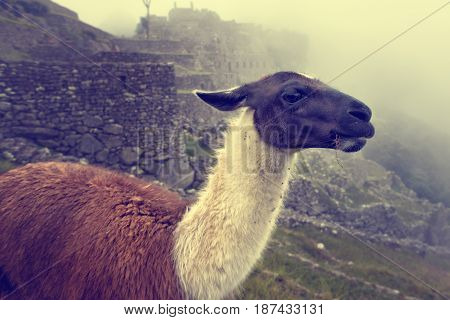 Llama in the ancient city of Machu Picchu Peru.